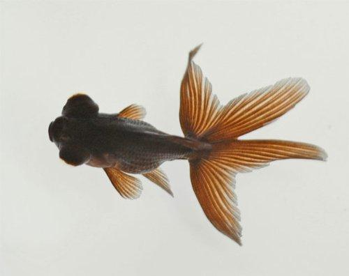 金魚 黒出目金 1匹 [生体]