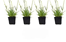 Buy White Spike Lavender Plants