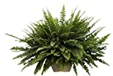 Planta de interior - Nephrolepis - Helecho de Boston -Planta para la casa en macetero colgante