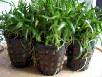 Mühlan Wasserpflanzen 15 Töpfe Neuseelandgras, Rasen im Aquarium