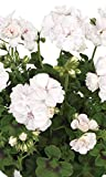 6 x Large Garden Ready Plants Bedding Pack – Each Plant is The Same Size As Grown in A 10.5cm Pot. Colours for Containers, Baskets, Patios, Beds. Doorstep Plants Geranium Ivy Leaf White