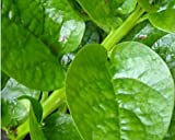 Plentree Malabar Spinaci 20 Semillas orgnicas (Tallo Verde) Delicious Basella Alba