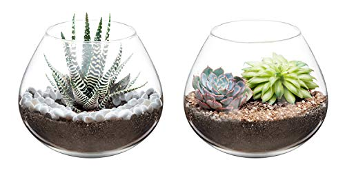 Air plant glass terrarium display