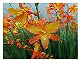 Crocosmia Orange Pekeo ® Plants ex one Litre Pot