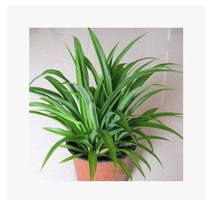20seeds / sac Phnom Penh bracketplant feuilles de semences de fleurs en pot absorbent le formaldéhyde, purifier l'air livraison gratuite