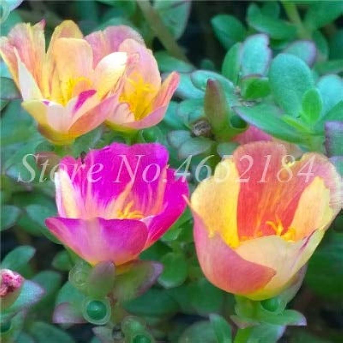 反響する戦略コットン成長植栽熱トレラント簡単のために100個スベリヒユGrandiflora盆栽混合色モス?ローズスベリヒユダブルフラワー工場
