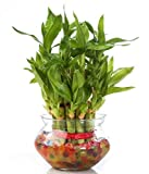 Two Layer Lucky Bamboo plant with Big Round Glass Pot and Colored Jelly
