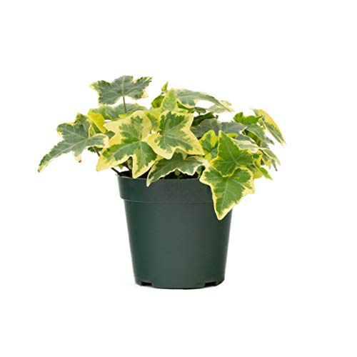 LIVETRENDS/Urban Jungle Ivy Variegated in 4-inch Grower Pot, (Live Plant)