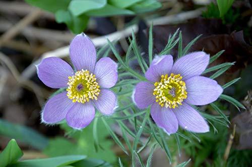 Anémona Jardín De Flores Primavera Púrpura Púrpura 1000 Rompecabezas Educativos para Niños...