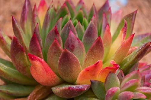 Echeveria Agavadoides 10 Samen - sukkulente samen