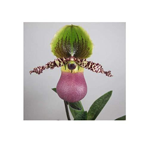 Stk - 1x Paphiopedilum Pinocchio Sämling Multiflower Orchidee Pflanze OW210 - Seeds Plants Shop Samenbank Pfullingen Patrik Ipsa