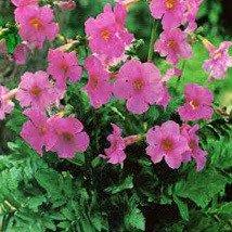 Plant World Seeds - Incarvillea Grandis Seeds