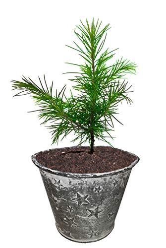 Seedeo® Himalaja Zeder (Cedrus deodara) Pflanze 2 Jahre Geschenkedition Topf mit Sternen