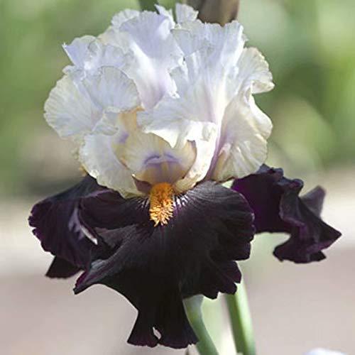 6 PCS White and Black Iris Bulbs Perennial Flowers Gardening Bulbs Well in Pots Pretty Iris Garden Landscape
