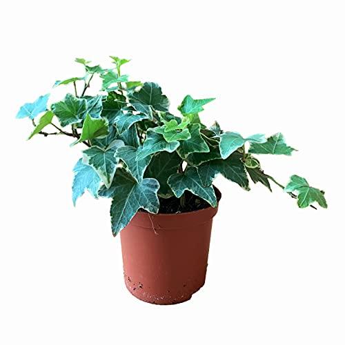 SEEBAUER garden® Efeu 'Hedera Helix' | Gartenpflanze, Bodendecker | Dekorative Pflanze für Innen und Außen | Gesamthöhe ca. 15 - 20 cm, Durchmesser Topf ca. 7 cm