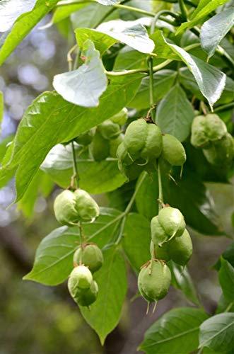 Gemeine Pimpernuss Staphylea pinnata Pflanze 35-40cm Klappernuss Nussbaum