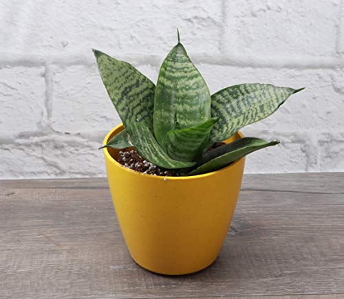 Thorsen's Greenhouse Sansevieria Hahnii, Live Indoor Plant, Bird's Nest Snake Plant, 8 Inches, Biodegradable Pot (Yellow)