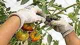 PAMPOLS 100 Clips o Soportes para tomateras y Otras Flores, Plantas y brotes TREPADORAS | Color Negro | Pack 100 Unidades | Pinzas de Soporte con Anillas de plástico