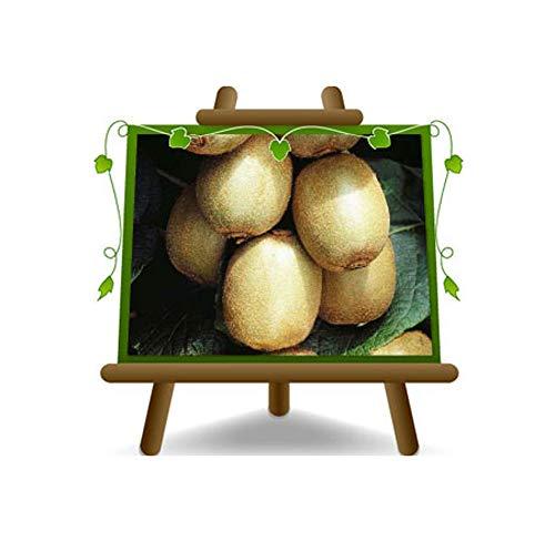 Actinidia - Kiwi Hayward - Femelle - Plante fruitière sur 20 pots - max arbre 160 cm - 2 ans