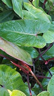 philodendron erubescens red