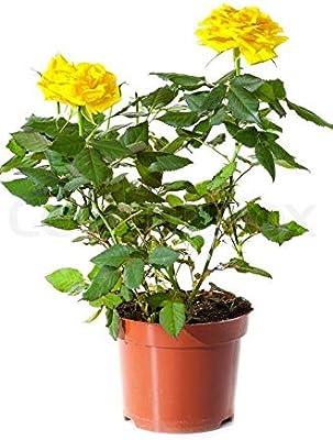 PlantaZee Yellow ROSE Live Plant Indoor Home Balcony plant