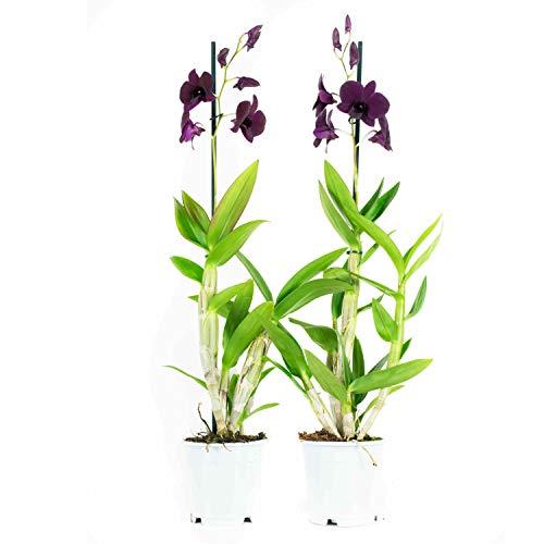 Choice of Green - Lot de 2 Dendrobium Sa Thaïlande noire en d'autres termes Orchidee