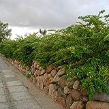 vegherb Border Ligustro Ligustrum obtusifolium Seeds