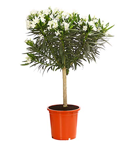 Dehner Oleander, Stämmchen, farblich sortiert, ca. 90-100 cm, Ø Topf 25 cm, Zierpflanze