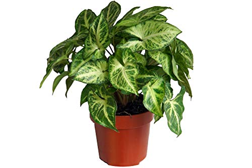 Purpurtute, (Syngonium podophyllum) Sorte: Arrow, weiss-buntes Blattwerk, pflegeleichte Zimmerpflanze, luftreinigend (1 Pflanze, je im 12cm Topf, ca. 20cm hoch)