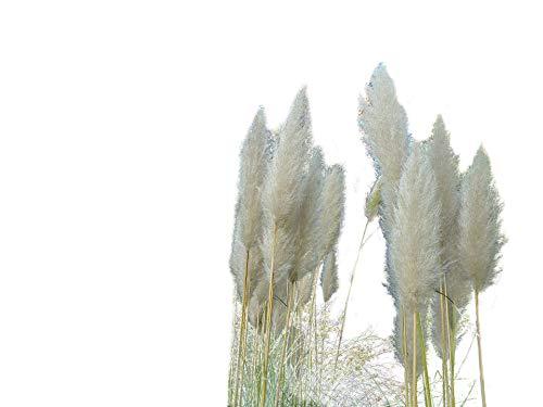 Pampasgras Weiss, die schönste (Blickfang am Teich) 100+ Samen -Winterhart-
