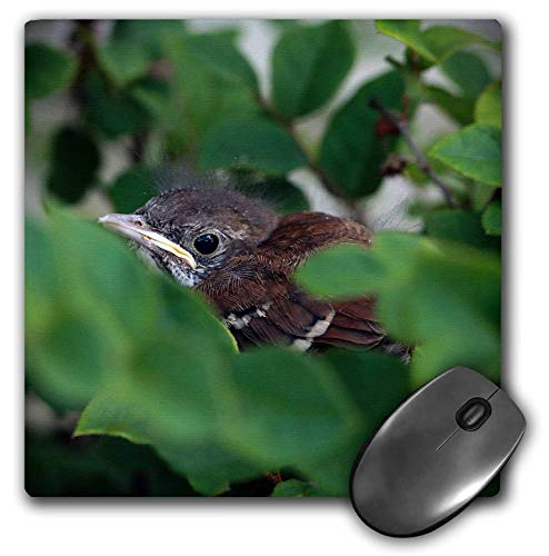 3dRose A Macro Photograph of a Brown Thrasher fledgling Hiding in a Bush. - Mouse Pads (mp_335337_1)