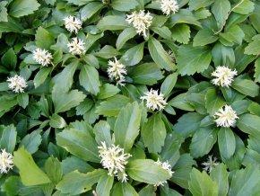 24 x Dickmännchen (syn. Schattengrün) - Pachysandra terminalis von Native Plants