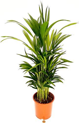 ARECA, PALMA DI ARECA vaso 17 altezza 70cm, pianta vera