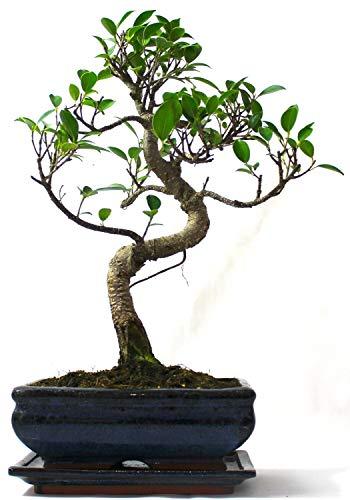 Tronco grande Ficus Retusa (Fig) Bonsai Tree S – Suministrado con bandeja de goteo de cerámica