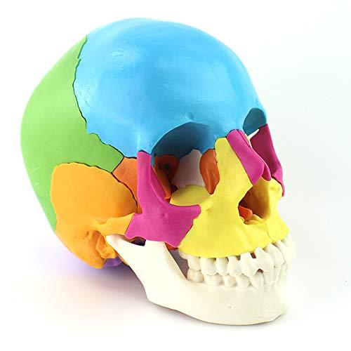 Menschliches Schädel-Modell für Anatomie 22-Part Painted-Schädel Scientific Medical Teach Instrument Farbige