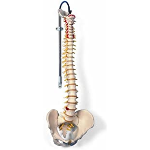 3B Scientific Human Anatomy - Classic Flexible Spine Model
