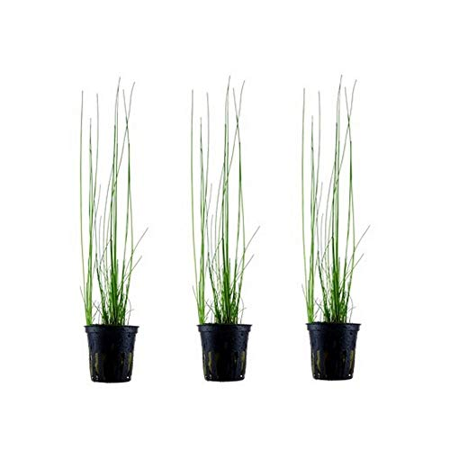 Aquariumpflanze 3 Stück Wasserpflanze Eleocharis montevidensis Nr.132D Aquariumpflanzen Set