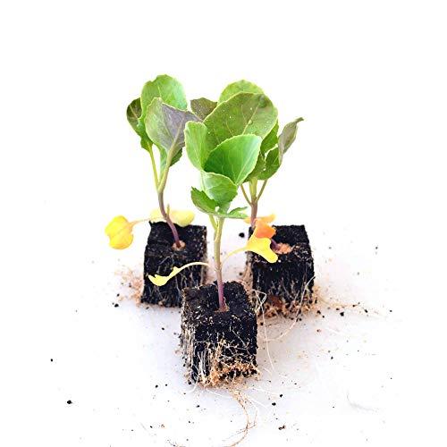Gemüsepflanzen - Blumenkohl - Brassica oleracea var. botrytis - Brassicaceae - 6 Pflanzen