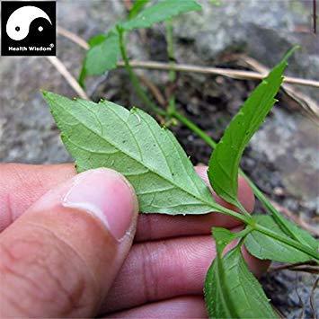 Wirkliches chinesisches Gynostemma sät Pentaphyllum Sementes-Hof-Bonsais Jiaogulan-Garten-Medizin-Kraut-Anlage im Freien