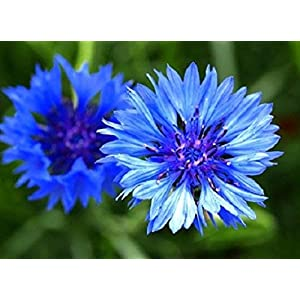 5g Cornflower - Centaurea Cyanus - Wildflower 1,000 Seeds 5g Meadows