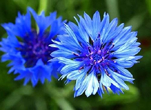 5g Cornflower - Centaurea Cyanus - Wildflower 1,000 Seeds 5g Meadows