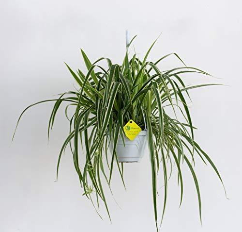 Plantì PIANTA VERA DI CLOROFITO Chlorophytum comosum Nastrino o Falangio Pianta da esterno e interno. Pianta erbacea, perenne, sempreverde. Piante per fioriere e vaso. Vaso 19 cm