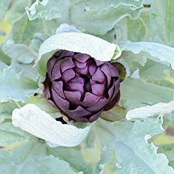 SANHOC Samen-Paket: 7 Samen von Violetto Artischocke