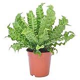 Asplenium nidus'Crispy Wave' | Nestfarn | Luftreinigende Zimmerpflanze | Höhe 25-35 cm | Topf-Ø 12 cm