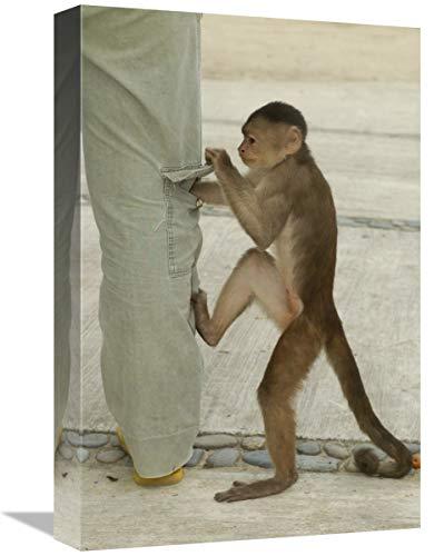Global Gallery Bolsillo para Pantalones de Cuadros de Capuchino con Frente Blanco, Puerto Misahualli, Ecuador, Lienzo de Arte de 30,5 x 45,7 cm
