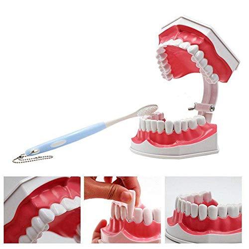 HHORD Dental Zahnarzt Zähne Kind Kid Gums Standard-Tooth Teaching Model,Zahnmodell