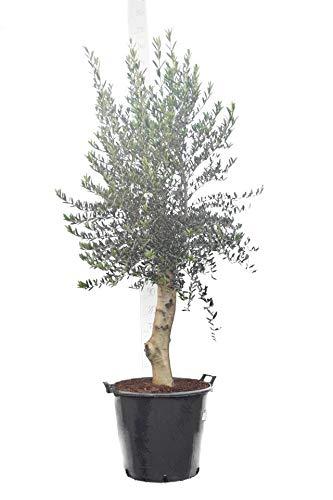 Olea europaea - echter Olivenbaum Wild Form - Größe 200+cm - Stamm 80+cm - Topf 70 Ltr. - Stammumfang 30-40 cm