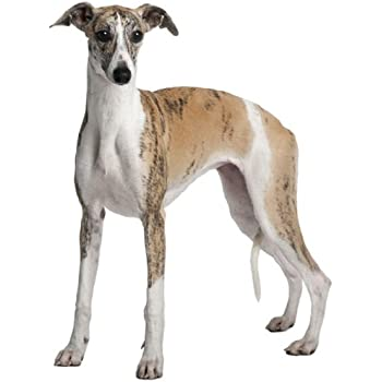 Whippet ~ Dog Breed ~ Edible Cake / Cupcake Topper