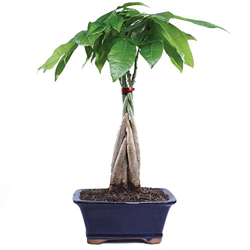 Brussel's Live Money Tree Indoor Bonsai - 4 Years Old; 10' to 14' Tall with Decorative Container