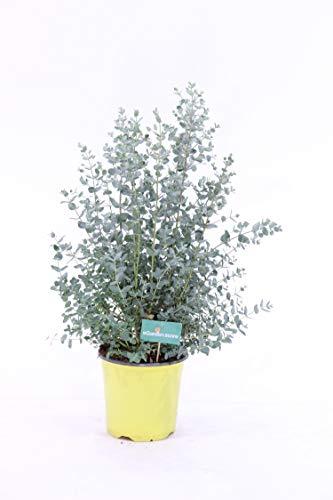 pianta vera da esterno di eucalipto gunnii v17